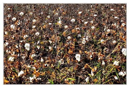 Urgench UZ - Cotton 01