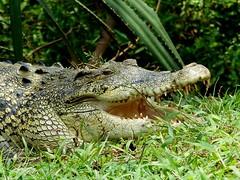 Saltwater crocodile (Crocodylus porosus) (m.ramyean) Tags: crocodile largest called reptiles dangerous porosus reptile estuarinecrocodile world saltwater kegalle tooth living crocodylus indopacificcrocodile sharp saltie district pinnawala seacrocodile marinecrocodile photography srilanka