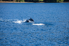 Spinner Dolphins – Stenella Longirostris 3140 (Ursula in Aus - Travelling) Tags: jimclinephototour milnebay png papuanewguinea tawali