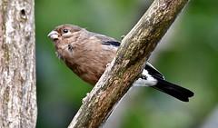 juvenile Bullfinch (Aidanos) Tags: pyrrhulapyrrhula bullfinch