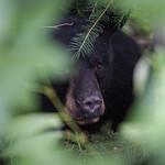 Black Bear Hiding in the Bushes thumbnail