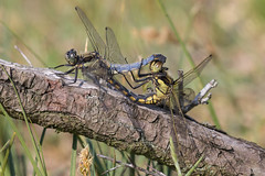 Mating dragonflies (Ron Winkler nature) Tags: dragonfly odonata insect insects arthropod awd netherlands nederland europe canon 100400ii macro animal wildlife nature 7dii