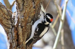 Hanging in  There (Patricia Henschen) Tags: chicobasinranch coloradosprings colorado ranch trees reflection easternplains rural woodpecker downy countryside downywoodpecker bird spring