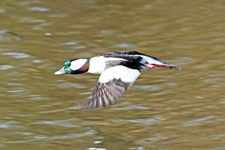 Bufflehead Drake Flying 18-0317-9373