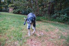 35/52 | solo patrol (huckleberryblue) Tags: week35 52weeksfordogs hound bluetickcoonhound gracie