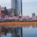 Ueno Park Sakura - Tokyo, Japan