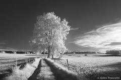 Tree. (gillesfrancotte) Tags: 2018 august ir kenko kenkor72 outdoor arbre chemin culture field filtreinfrarouge golden grass grassland infrared infraredfilter infrarouge maedow nature path rural shadow summer sun sunshine track tree way été aywaille wallonie belgique be blackandwhite bw monochrome