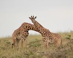 Twins (Nagarjun) Tags: maasaigiraffe nairobinationalpark kenya wildlife
