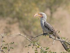 Yellow Billed Hornbill (dunderdan77) Tags: bird beak feather wing wings nature wildlife animal safari south africa kruger national park nikon tamron d500 150600 mpumalanga