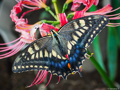 butterfly with red spider lily (Christine_S.) Tags: butterfly color spiderlily olympus nature garden flower lily japan 蝶々 olympus30mmf35 swallowtail ヒガンバナ チョウチョ red lycorisradiata summer natureinfocusgroup