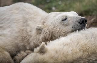 Polar Bear- Restful-1