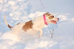 Kya (Falon167) Tags: kya pitbullterrier pitbull pit bull terrier dog