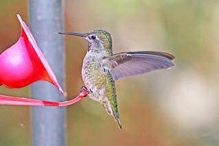 Anna's Hummingbird 18-0901-2415