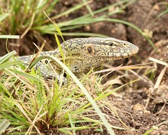 Head popping out (Nagarjun) Tags: monitorlizard reptile nairobinationalpark kenya eastafrica wildlife waterbody animal safari gamedrive savannah