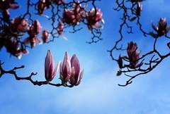 Magnolia buds (Maureen Pierre) Tags: magnolia bud flowers light colour christchurchbotanicgardens npsnz