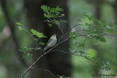 Pouillot siffleur (Grégoire Schneider) Tags: pouillot siffleur phylloscopus sibilatrix wood warbler passériformes phylloscopidés