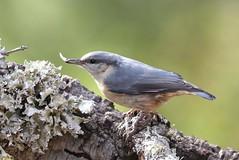 Trepadeira azul (gomesd1962) Tags: wildlife bird birds portugal arrábida