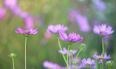 Together We Stand (Through Serena's Lens) Tags: closeup pink petals botanical garden cosmos floral dof bokeh flower plant canoneos6dmarkii