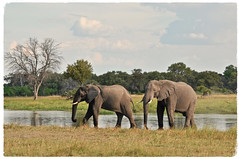 """We Want to Live Too"" (The Spirit of the World ( On and Off)) Tags: africa okavangodelta botswana nature wildlife unescoworldheritagesite pond water trees delta wading elephants gentlegiants poaching"