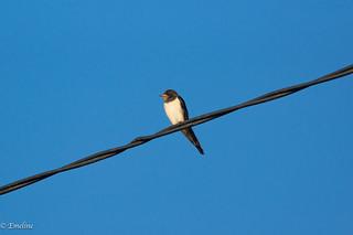 Hirondelle rustique, Swallow