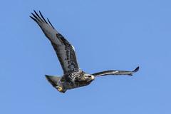 Rough Legged Hawk (AmyEHunt) Tags: roughleggedhawk hawk raptor flight sky predator birdofprey bird animal wildlife wild nature colorado pawneenationalgrasslands naturephotography blue