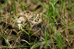 Surprise Visitor (Leo Hohmann) Tags: toad nature leohohmannphotography tamron75300mm nikon300s amphibians