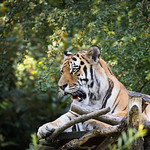 Amur tiger thumbnail