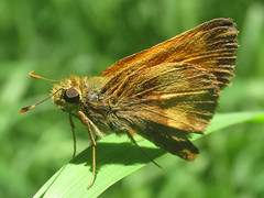 Poanes hobomok, male (tigerbeatlefreak) Tags: poanes hobomok insect butterfly skipper lepidoptera hesperiidae nebraska