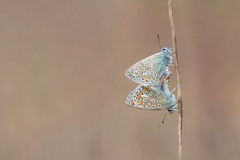Hauhechel-Bläuling (Polyommatus icarus) (Matthias.Kahrs) Tags: hauhechelbläuling polyommatus icarus common blue falter schmetterling schmetterlinge matthiaskahrs tagfalter tier tiefenschärfe schärfentiefe canon 5d canoneos5dmarkiv canon5dmarkiv sigma 150600mm sigma150600mm sigma150600mmf563dgoshsmsports sigma150600mmf563dgoshsms matthias kahrs