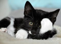 _DSC9651 (Raphistole) Tags: cat kitty chat d7000 sigma 1770mm nikon animals baby black white chaton kitten