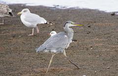 Heron with gulls. (artanglerPD) Tags: heron gull ugie estuary