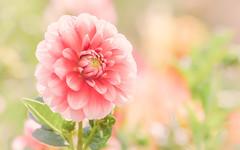 Vintage? (paulapics2) Tags: pastel flora bokeh canoneos5dmarkiii canonef70300mmf456lisusm vintage