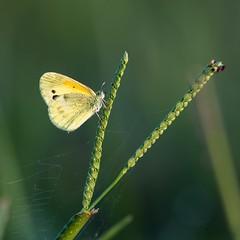 Dainty Sulphur (Jay Paredes) Tags: daintysulphur butterfly insect nathalisiole marshtrail arthurrmarshall loxahatchee nationalwildliferefuge boyntonbeach florida