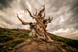 Golden Ratio Ancient Bristlecone Pines! Sony A7RII Elliot McGucken Fine Art Landscape Photography!