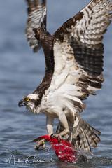 Wildlife Photography (NikonDigifan) Tags: wildlife wildlifephotography nature naturephotography osprey salmon kokanee sockeye birdwatching bird animal nikond500 nikon20050056 mikegassphotography