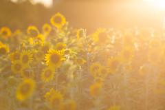 himawari (王韋証) Tags: flower orange sunflower sunset backlighting himawari