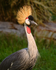 3322_D850 Crowned Crane (greyhound rick) Tags: crane crownedcrane colorful phoenix arizona zoo phoenixzoo nikon nikkor sb800 garyfong lightsphere photoshop lightroom golden yellow nikond850
