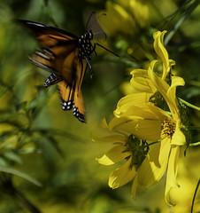 MonarchButterfly_SAF6502-2 (sara97) Tags: danausplexippus butterfly copyright©2018saraannefinke endangered insect missouri monarch monarchbutterfly nature photobysaraannefinke pollinator saintlouis towergrovepark inflight
