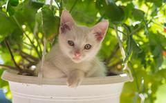 kittens II (10) (Vlado Ferenčić) Tags: kitty kittens catsdogs cats animals animalplanet vladoferencic vladimirferencic hrvatska croatia klenovnik nikond600 tamron9028macro