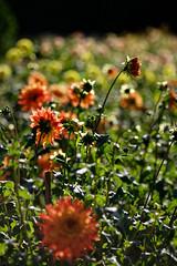 Gera - Daliengarten (birk.noack) Tags: deutschlandthüringengeradahliengartendahliedahlienblumeblumensonneherbstgermanythuringiageradahliagardendahliadahliaflowerflowerssunautumn deutschland thüringen gera dahliengarten dahlie dahlien blume blumen sonne herbst germany thuringia dahliagarden dahlia flower flowers sun autumn