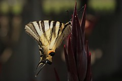 Iphiclides podalirius (ryorii) Tags: canon natura farfalla nature colours butterfly swallowtail podalirio iphiclidespodalirius multicolor macromondays