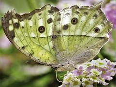 butterfly 11 (norbert.wegner) Tags:
