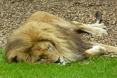 2018.06.19.041 CHAMPREPUS - Parc animalier - Le roi dort (alainmichot93 (Bonjour à tous - Hello everyone)) Tags: 2018 france frankreich francia frankrijk frança γαλλία франция europe ue normandie manche champrepus parczoologique zoo animal mammifère félin lion