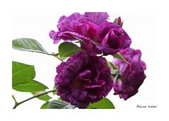 Happy Birthday Maria (paulinecurrey) Tags: rose highkey garden petals leaves contrast pretty