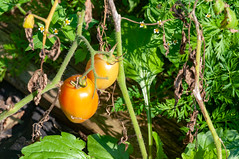 _DSC1838.jpg (Kaminscy) Tags: garden tomatoes roztocze farm zamojszczyzna village nature poland krasnobród lublinvoivodeship pl