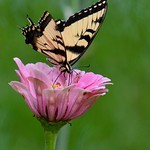 Zinnia with Eastern Tiger Swallowtail (Papilio glaucus) thumbnail
