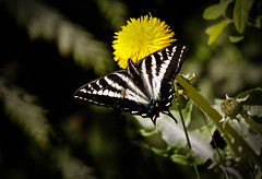 The Black Swallowtail Butterfly (http://fineartamerica.com/profiles/robert-bales.ht) Tags: animals butterflyormonth haybales idaho people photo places priestlake projects states toworkon flower swallowtail wing butterfly nature black wild metamorphosis colorful lunules fauna migration spot animal zinnia isolated sunshine rest life papiliopolyxenesasterius color bug polyxenes easternblackswallowtail papilio wildlife insect male butterflies proboscis feeding butterflywings swallowtailbutterfly wingspan blackbutterfly single arthropod insects pollen nectar invertebrate bugs beautiful beauty lepidoptera robertbales