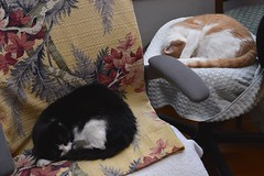 "I'm going to call this ""Exhibit A"". (rootcrop54) Tags: tina tuxedo female cat otis male orange ginger tabby cats computer chairs neko macska kedi 猫 kočka kissa γάτα köttur kucing gatto 고양이 kaķis katė katt katze katzen kot кошка mačka gatos maček kitteh chat ネコ barkcloth vintage fabric cc100 cc400"