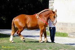 Pouliche Trait Breton (claude 22) Tags: animal ferme cheval de trait gros plan postier france bretagne breizh breton lamballe farm horse a workhorse broodmare la britanny mane