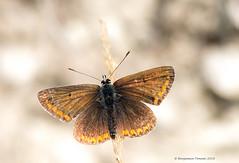 Brown argus - Aricia agestis (frattonparker) Tags: btonner bokeh butterfly depthoffield farfalle isleofwight lightroom6 macro mariposa nikkor105mmafsmicrof28ged nikond810 papilon prime raw schmetterling frattonparker chalkdownland